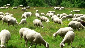 Herd of sheep along the long-distance hiking trail Neckarsteig. In Germany stock video