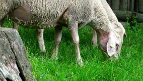 Herd of sheep along the long-distance hiking trail Neckarsteig. In Germany stock footage