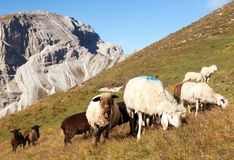 Herd of sheep in alps Stock Photo