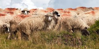 Herd of sheep in alps Royalty Free Stock Photography