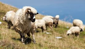 Herd of sheep in alps Stock Photo
