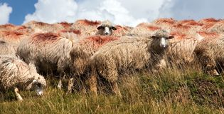 Herd of sheep in alps Stock Photography