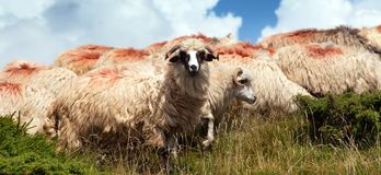 Herd of sheep in alps Royalty Free Stock Photo