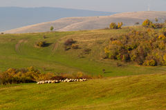 Herd of sheep in the autumn light. Herd of sheep in the autumn morning light Royalty Free Stock Images