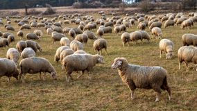 Herd of Sheep in Bavaria, Germany Stock Photography