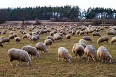 Herd of Sheep in Bavaria Stock Photography