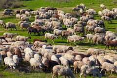 Herd of sheep on beautiful mountain meadow. Stock Photos