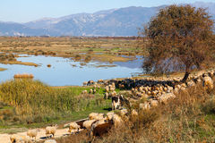 Herd of sheep on beautiful mountain meadow. Royalty Free Stock Images