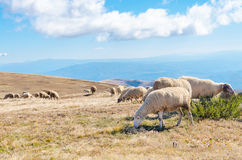 Herd of sheep on beautiful mountain Stock Photography