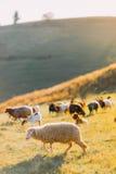 Herd of sheep on beautiful mountain meadow Stock Photo