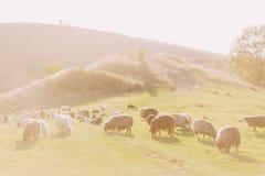 Herd of sheep on beautiful mountain meadow Stock Photos