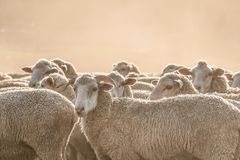 A herd of sheep in Clarens. Standing in dust Royalty Free Stock Images