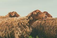 Herd of sheep. Close eup Stock Photos