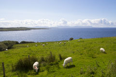 Herd of sheep in the coast Stock Images