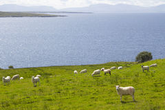 Herd of sheep in the coast Stock Photo