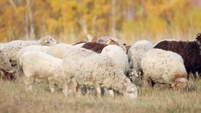 Herd of sheep and cows grazing in a meadow near stock video