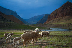 A herd of sheep cross the field, a mountain river Royalty Free Stock Image