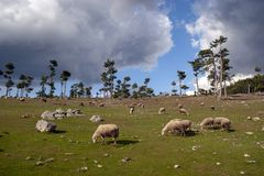 Herd of sheep. Crosses the green meadow royalty free stock image