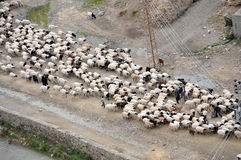 Herd of sheep Stock Photography