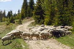 Herd of sheep crossing country road Stock Image