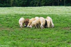 Herd of sheep. Royalty Free Stock Image
