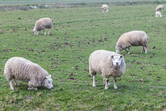 Herd of sheep on the dike Royalty Free Stock Photos