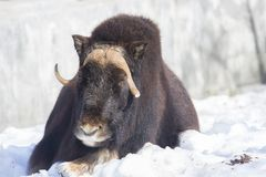 Musk ox. The herd of sheep does not run away from predators, and forms a protective circle, inside which are calves. When attacked by a predator this ring is Stock Images
