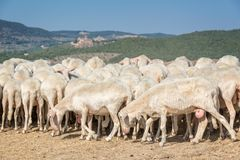 Herd of sheep in a dried field in summer Italy Stock Photography