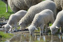 Herd of sheep drinking water. In spring time royalty free stock photos