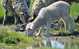 Herd of sheep drinking water. In spring time Royalty Free Stock Photography