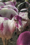 Herd of sheep dyed in pink. Flock of sheep dyed pink as a background in the countryside royalty free stock images