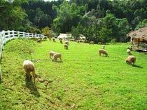 Herd of sheep. Eat grass Stock Image