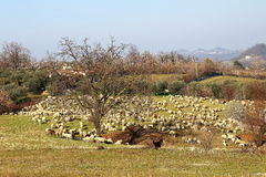 A herd of sheep. Is eating in a field in a sunny day Royalty Free Stock Images