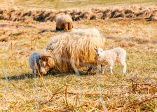 A herd of sheep eating grass in the field royalty free stock photo