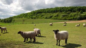 The herd of sheep stock footage