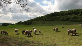The herd of sheep stock video footage