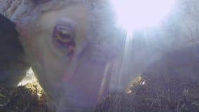 Herd of sheep eating hay stock video footage