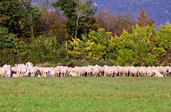 Herd of sheep in eating some grass. On the horizon Royalty Free Stock Image