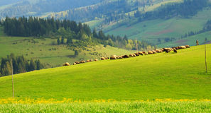 Herd of sheep on the emerald lawn in the Carpathian mountains Royalty Free Stock Photography
