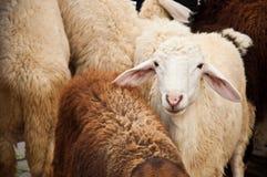 Group of sheep Stock Photos