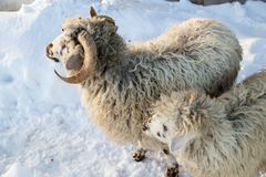 A herd of sheep on a farm in a winter day Stock Images
