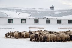 A herd of sheep on a farm on a winter day. In the background there are layers Royalty Free Stock Photography