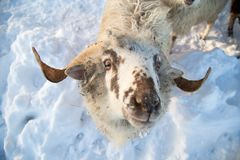A herd of sheep on a farm in a winter day Stock Photos