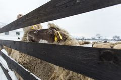 A herd of sheep on a farm in a winter day stock photo
