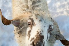 A herd of sheep on a farm in a winter day Royalty Free Stock Photos