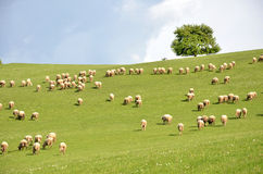 Herd of sheep feed on green meadow Stock Photos