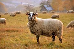 Herd of sheep feed in the meadow, a sheep in foreground looks straight into the objective Royalty Free Stock Photography