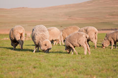 Herd of sheep feeding Royalty Free Stock Photography