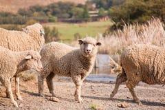 Herd of sheep feeding Stock Image