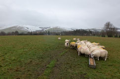 Herd of sheep feeding in winter with snowy hills in background. A group of sheep feeding from a trough in a muddy field with snowy mountains in the background Royalty Free Stock Photo